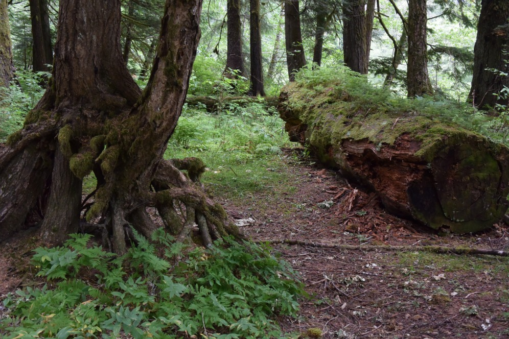 """""""Forest of Prince Rupert Island, BC"""" Photo by Erin K. Hylton 2017."""
